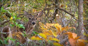 deer-in-woods-300x158